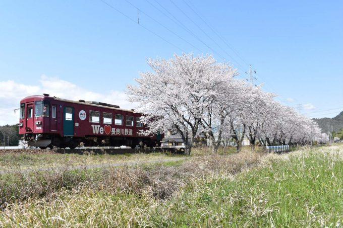No.542 桜並木を行く。